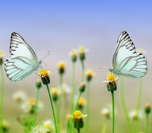 Two butterflies on flowers ready for transition